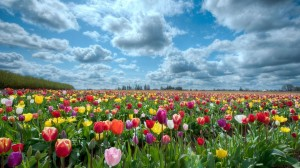 hd-wallpapers-field-of-flowers-background-1920x1080-wallpaper